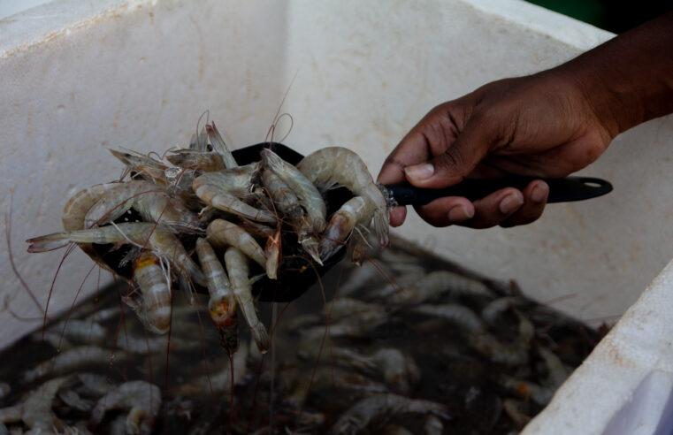 Favelas do Rio fazem a festa com o camarão barato