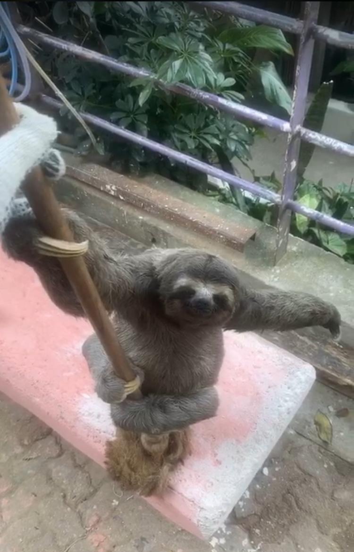 Preguiça aparece na casa de morador na favela Santa Marta